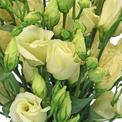 Champagne Single Lisianthus Flower
