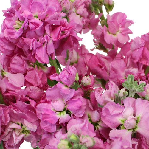 Stock Pacific Pink Flower