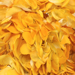 Pineapple Fizz Airbrushed Yellow Hydrangea Flower