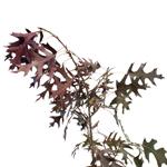 Single stem of pin oak fresh cut branches filler flowers sold near me