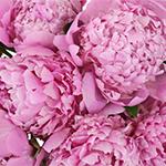 Pink Alex Flemming Peonies up close