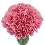 Pink Ambrose Carnation Flowers In a vase