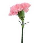 Pink Ambrose Carnations side stem