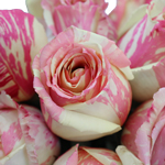 Pink and White Fiesta Roses up close
