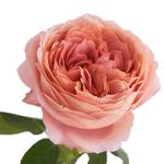 Pink Antique Garden Rose Stem