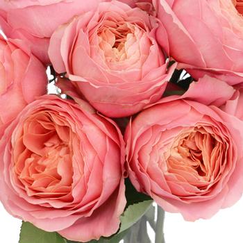 Pink Antique Garden Roses up close