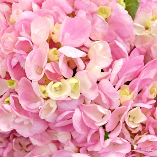 Pink Blossom Hydrangea Flowers Up Close