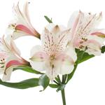 Pink Blush alstroemeria Wholesale Stem Close up