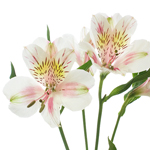 Pink Blush alstroemeria Wholesale Flower Stem