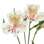 Pink Blush alstroemeria Wholesale Flower Stem