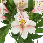 Pink Blush alstroemeria Wholesale Flower Upclose