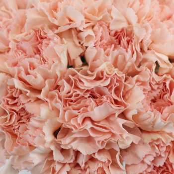 Pink Candy Wholesale Carnations Up close