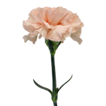 Pink Candy Carnations side stem