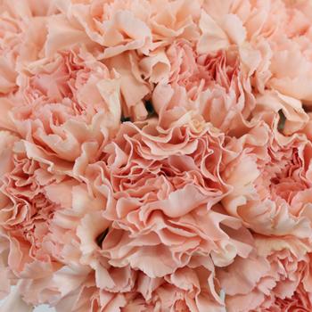 Ballet Slippers Carnation Flowers