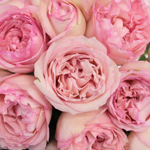 Pink Carmeline Garden Roses up close