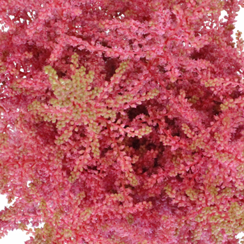 Perfectly Pink Astilbe Texture Flower May to October
