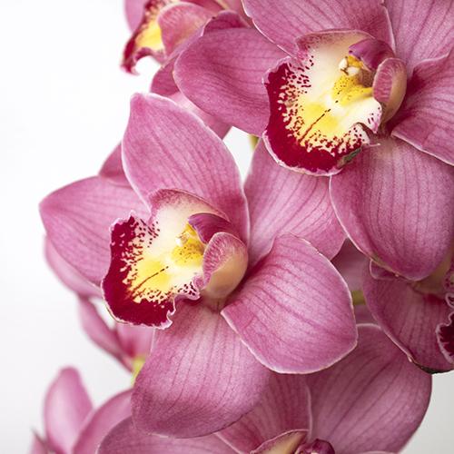 Cymbidium Orchids Hot Pink Overnight