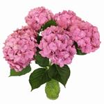 Light Pink Fresh Hydrangea Flower
