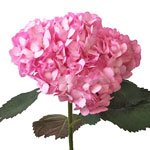 Pink Enhanced Hydrangea Stem View