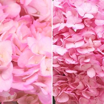 Pink Enhanced Hydrangea Flower Up Close