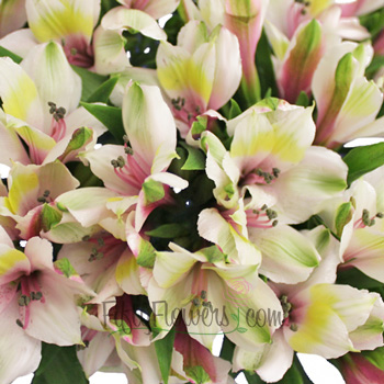 Pink Forest alstroemeria Wholesale Flower Upclose