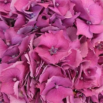 Hydrangea Raspberry Flower