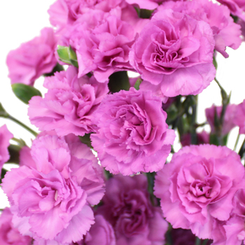 Pink Lilac Mini Wholesale Carnations Up close