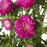 Monochromatic Pink Matsumoto Flowers