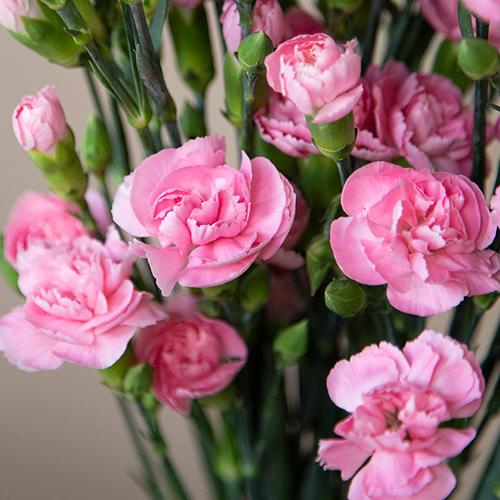 Pink Mini Carnation Flowers Up Close