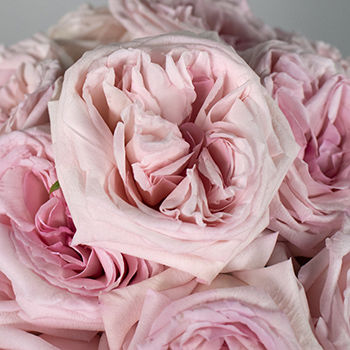 Ohara Soft Pink Garden Roses up close