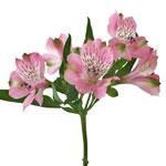 Pink Peruvian Lily Alstroemeria Flowers Stem View