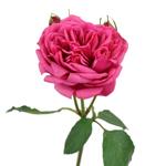 Pink Piano Peony Rose Stem
