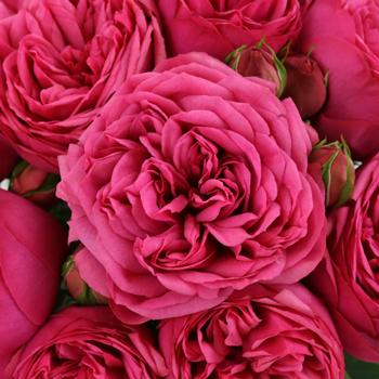 Pink Piano Peony Roses up close