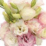 Pink Picotte Lisianthus Wholesale Flower Upclose
