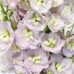 Pink River Mauve Designer Delphinium Wholesale Flower Up close