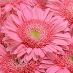 Gerbera Daisy Pink Standard Wholesale Flower Up close