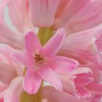 Light Pink Bulk Hyacinth Flower