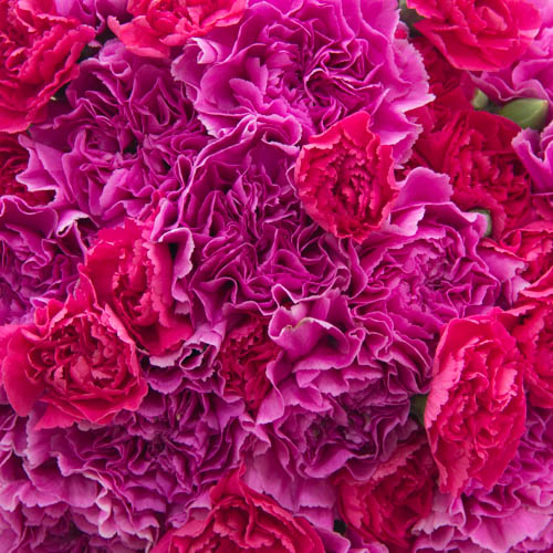 Pink Swirl Wholesale Carnations Up close