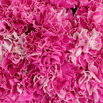 Pink Enhanced Carnation Flowers