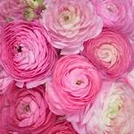 Fresh Ranunculus Light Pink Flower