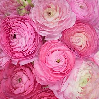 Pink Ranunculus Fresh Cut Flower