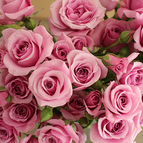Pinky Lavender Spray Roses up close