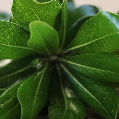 Wedding greenery pittosporum bulk greenery filler flower