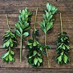 Fresh cut pittosporum greenery sold as wholesale near me