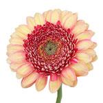 Gerbera Daisy Pixels Peach Wholesale Flower Up close