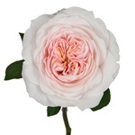 Pleasing Pink Garden Rose Side Stem View