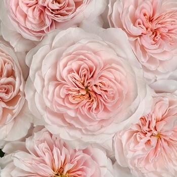 Pleasing Pink Garden Roses up close