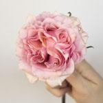 Powder Pink Garden Rose Stem