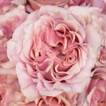 Powder Pink Garden Roses up close