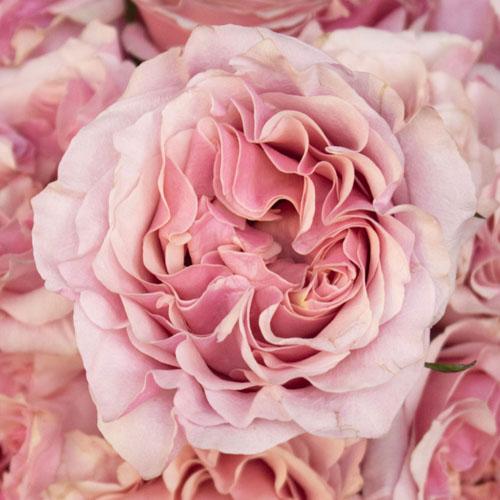 Powder Pink Garden Roses up close